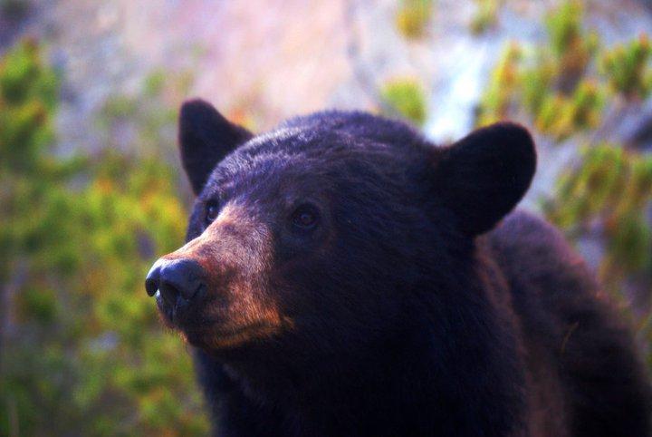 Jared bear